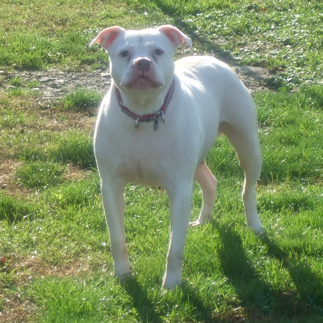 Ben, white dog available for adoption