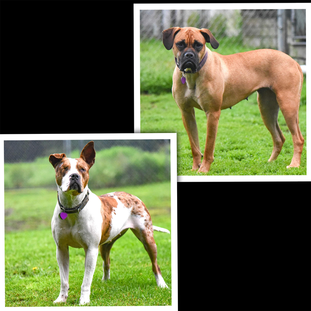 Greta, Brown Boxer and Sue, white and brown Mix available for adoption