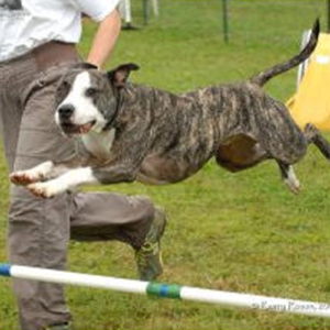 Chester jumping over a pole