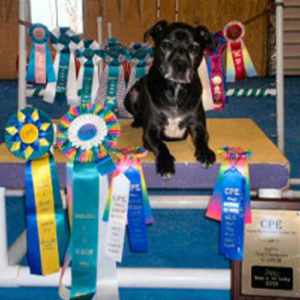 Mighty Joe laying with all of his ribbons