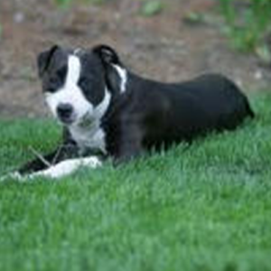 Kaylee, Therapy dog laying down in the grass