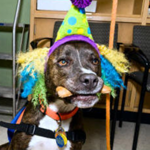 Pig, Therapy dog dressed as a clown with a bone in his mouth