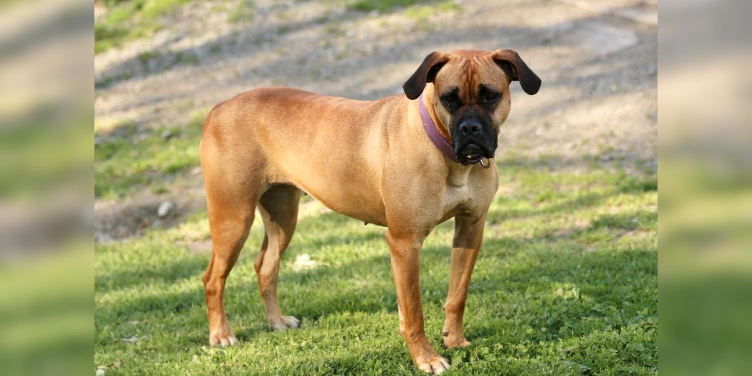 Greta, Female, Pit Bull, Adoptable