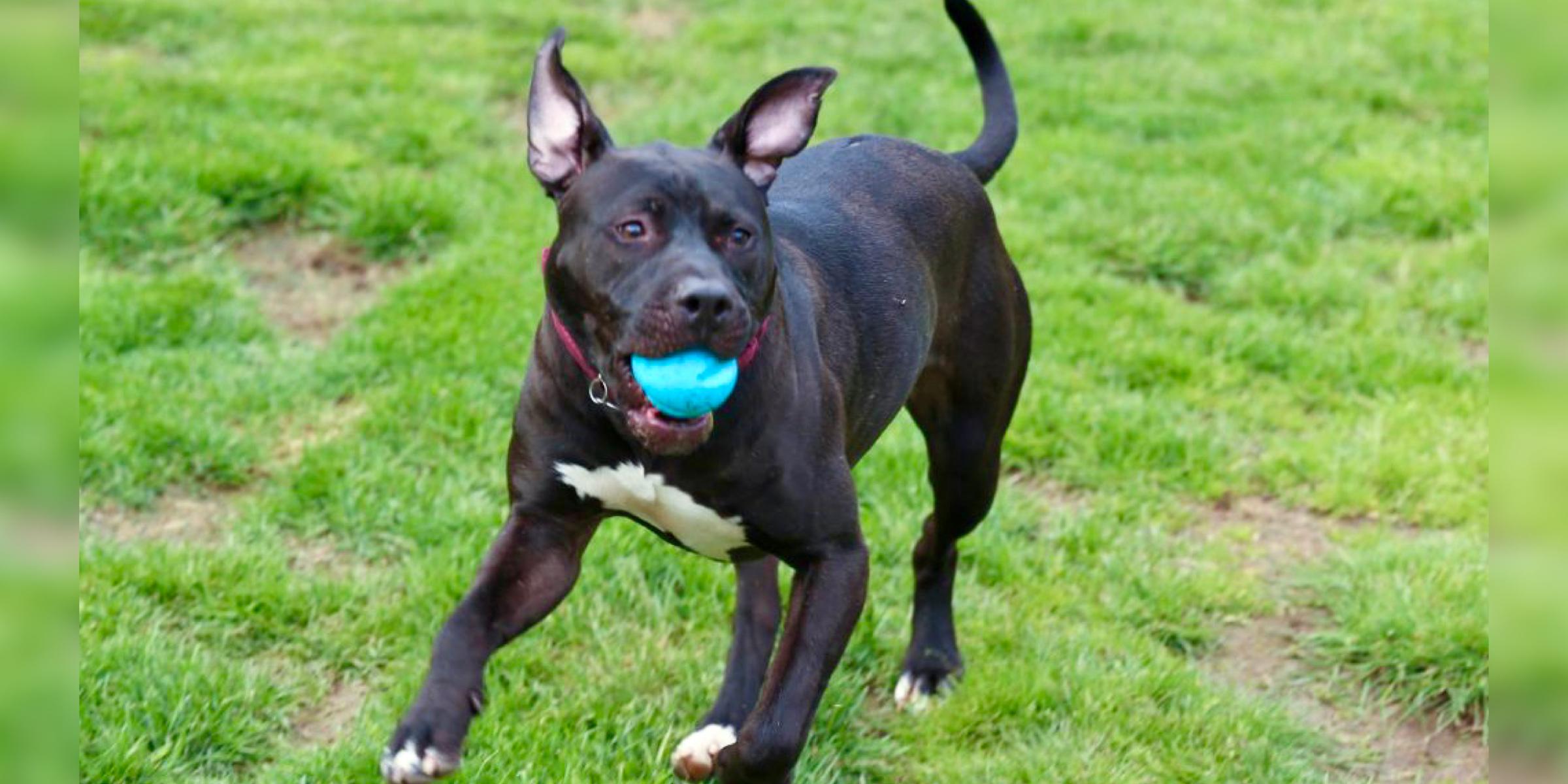 Tyson, black male pit bull